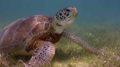 Turtle-56