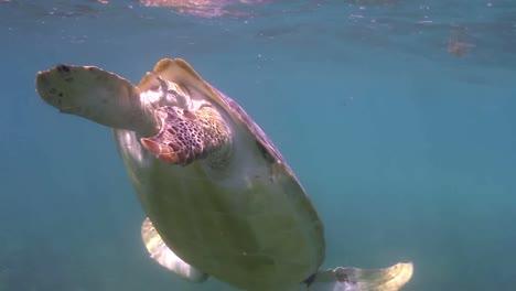 Turtle-58