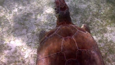 Turtle-59
