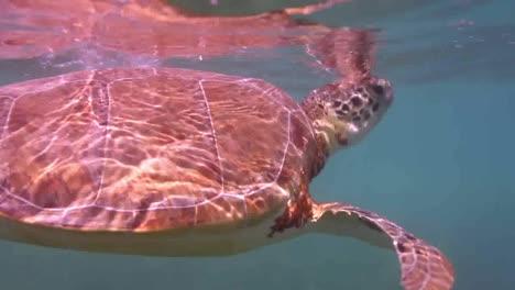 Turtle-60