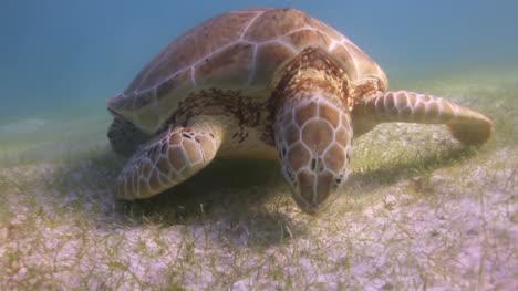 Turtle-61