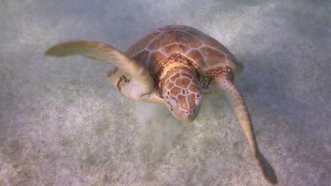 Turtle-62