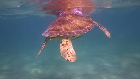 Turtle-63