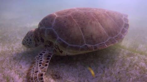Turtle-66