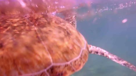 Turtle-68