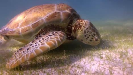 Turtle-70