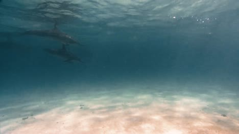 Spinner-Dolphins-Swimming-In-Shallow-Water-Near-The-Hawaiian-Islands-2019