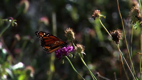 A-Monarch-Butterfly-Rests-On-A-Leaf-Of-A-Plant-2019