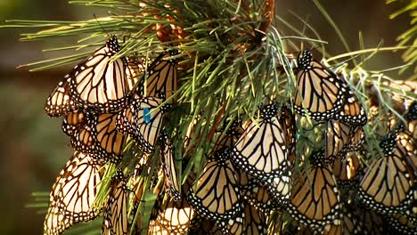 A-Large-Number-Of-Monarch-Butterflies-All-Clinging-To-A-Single-Plant-2019