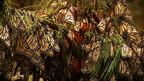 A-Large-Group-Of-Monarch-Butterflies-Sit-On-A-Pine-Tree-Branch