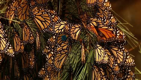 Primeros-Planos-De-Muchas-Mariposas-Monarca-Sentado-En-Una-Rama-De-Pino