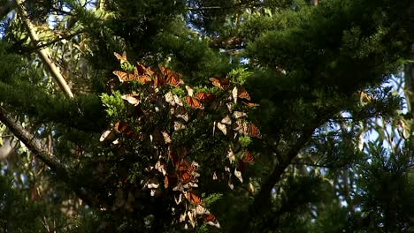 A-Close-Up-Of-A-Monarch-Butterfly-And-A-Group-Of-Monarch-Butterflies-Hanging-Out-On-A-Pine-Tree