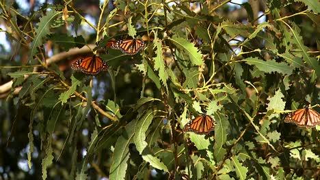 Un-Grupo-De-Mariposas-Monarca-En-Un-Pino-Cerca-De-Un-Capullo-A-Punto-De-Incubar-Una-Mariposa