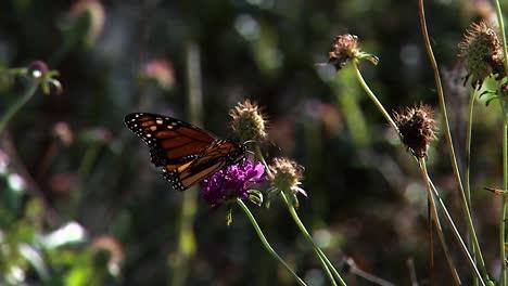 Una-Mariposa-Monarca-Alimentando-Cerca-De-Una-Oruga-Monarca