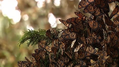 Primeros-Planos-De-Las-Mariposas-Monarca-En-Una-Rama-De-Pino
