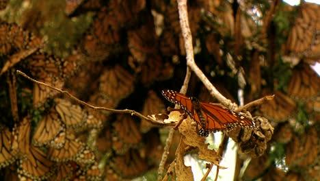 Primeros-Planos-De-Muchas-Mariposas-Monarca-En-Una-Rama-De-Pino
