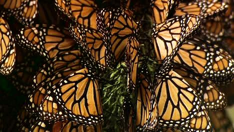Primeros-Planos-De-Un-Gran-Número-De-Mariposas-Monarca-En-Una-Rama-De-Pino