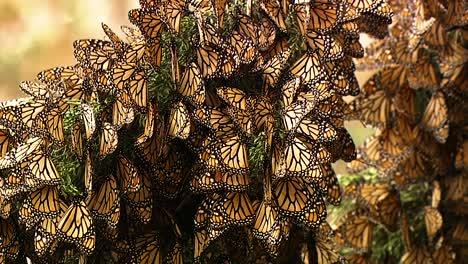 Un-Gran-Número-De-Mariposas-Monarca-Se-Aferran-A-La-Rama-De-Un-Pino