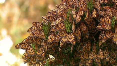 Many-Monarch-Butterflies-Rest-On-A-Pine-Tree-Branch