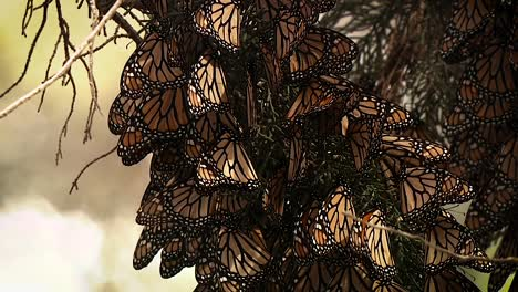 A-Few-Monarch-Butterflies-In-A-Large-Group-On-A-Pine-Tree-Begin-To-Rustle-Their-Wings