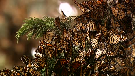 A-Large-Group-Of-Newly-Born-Monarch-Butterflies-Begin-To-Rustle-Their-Wings-For-The-First-Time