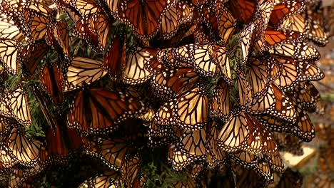 A-Large-Group-Of-Newly-Born-Monarch-Butterflies-All-Collected-On-A-Pine-Tree