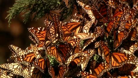 Un-Gran-Grupo-De-Mariposas-Monarca-Recién-Nacidas-Comienza-A-Volar-Y-Se-Posa-En-Un-Pino