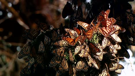 A-Large-Group-Of-Monarch-Butterflies-All-Collected-On-One-Tree