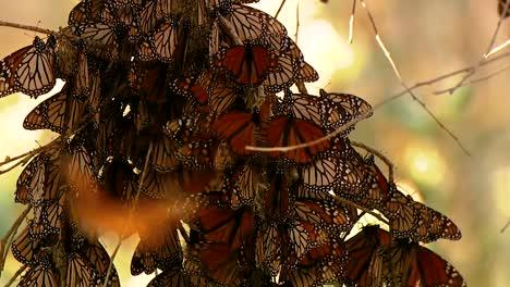 Varias-Tomas-De-Una-Gran-Cantidad-De-Mariposas-Monarca-En-Los-árboles-