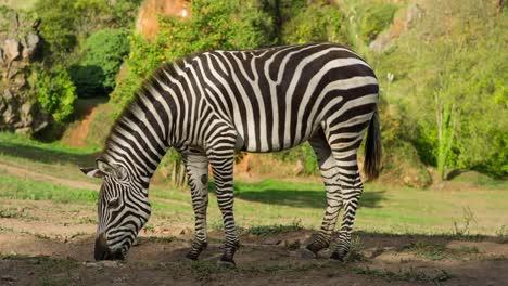 Zebra-03