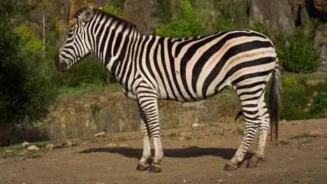 Zebra-07