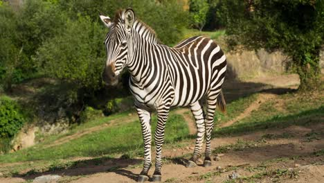 Zebra-08
