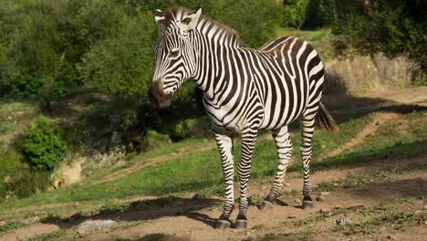 Zebra-09