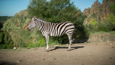 Zebra-14