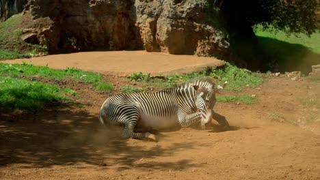 Zebra-Grevy-04