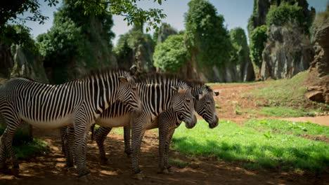 Zebra-Grevy-05