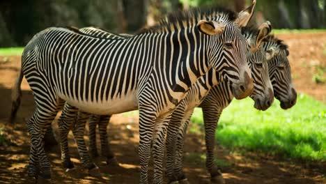 Zebra-Grevy-07