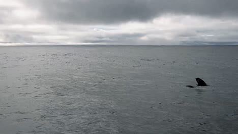 Eine-Schote-Orcas-Die-Für-Die-Luft-Auftaucht-2015