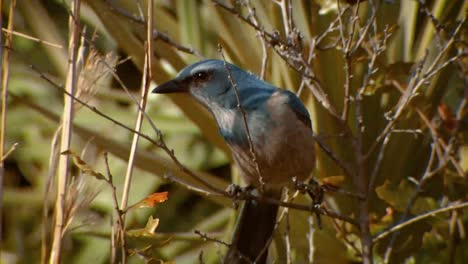 Scrub-Jay-(Aphelocoma-Coerulescens)-At-Merritt-Island-National-Wildlife-Reserve-2011