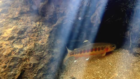 Underwater-Footage-Of-A-Golden-Trout-2016