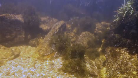 A-Pair-Of-Golden-Trout-Underwater-Inyo-National-Forest-2016
