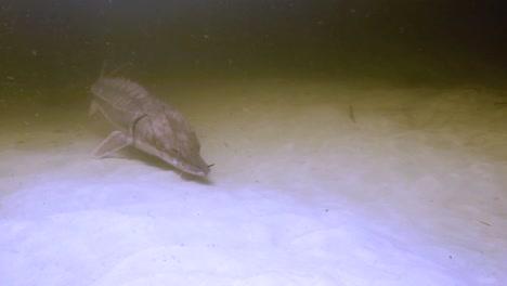 Underwater-Footage-Of-A-Gulf-Sturgeon-(Acipenser-Oxyrinchus-Desotoi)-2018