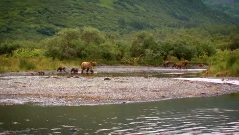 Mother-Kodiak-Bear-(Ursus-Arctos-Middendorffi)-With-Cubs-Fishing-In-A-Creek-Nwr-Alaska-2007
