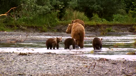 A-Mother-Kodiak-Bear-(Ursus-Arctos-Middendorffi)-With-Her-Cubs-Fishing-In-A-Creek-Nwr-Alaska-2007