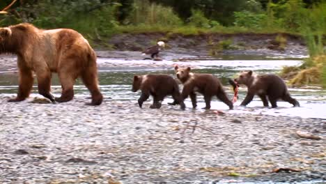 A-Mother-Kodiak-Bear-(Ursus-Arctos-Middendorffi)-And-Her-Cubs-Fishing-In-A-Creek-Nwr-Alaska-2007