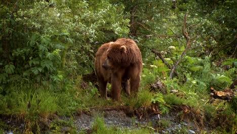A-Mother-Kodiak-Bear-(Ursus-Arctos-Middendorffi)-National-Wildlife-Reserve-Alaska-2007