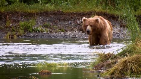 A-Mother-Kodiak-Bear-(Ursus-Arctos-Middendorffi)-Fishing-In-A-Creek-With-Her-Cubs-Nwr-Alaska-2007