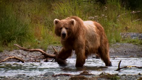 A-Kodiak-Bear-(Ursus-Arctos-Middendorffi)-Fishing-In-A-Creek-Nwr-Alaska-2007