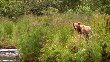Adult-Kodiak-Bear-(Ursus-Arctos-Middendorffi)-Crosses-Stream-To-Juvenile-Bears-Nwr-2007