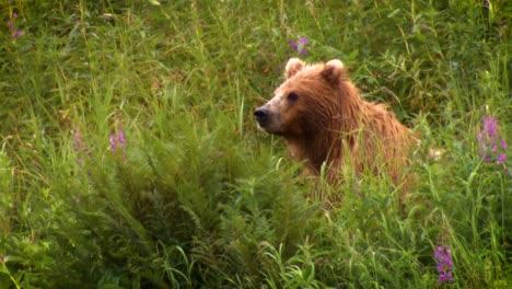 An-Adult-Kodiak-Bear-(Ursus-Arctos-Middendorffi)-Fishing-In-A-Creek-Nwr-Alaska-2007